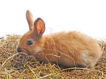 Un coniglietto si siede sul fieno Immagine Stock Libera da Diritti
