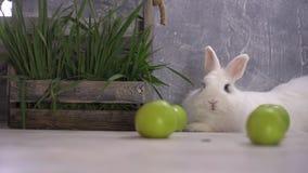 Un coniglio bianco che riposano accanto a quattro mele e un canestro di legno riempito archivi video