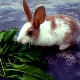 Un coniglio bianco e marrone che mangia erba immagini stock