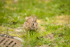 Un coniglio orientale della coda del cotone che mangia erba Immagini Stock Libere da Diritti