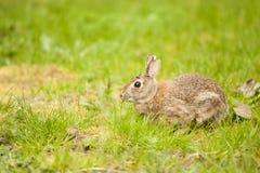 Un coniglio orientale della coda del cotone che mangia erba Fotografia Stock Libera da Diritti