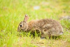 Un coniglio orientale della coda del cotone che mangia erba Fotografia Stock