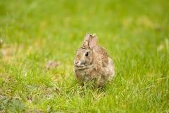 Un coniglio orientale della coda del cotone che mangia erba Immagini Stock