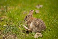 Un coniglio orientale della coda del cotone che mangia erba che scrtching Fotografie Stock