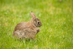 Un coniglio orientale della coda del cotone che mangia il piede di conigli di scratch dell'erba Fotografia Stock