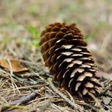 Un cono che si trova sulla terra in una foresta Fotografia Stock