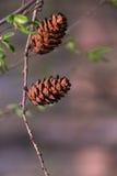 Un cono dei due pini Fotografie Stock