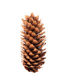 Un cono del pino en el fondo blanco Imagen de archivo libre de regalías