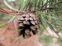 Un cono fresco del pino en un árbol de pino Imágenes de archivo libres de regalías