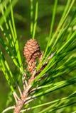 Un cono joven del pino y las agujas del pino del verde largo en un pino ramifican Primer Fotografía de archivo