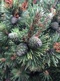 Un cono verde di tre semi di pino con le foglie verdi dell'ago immagine stock
