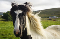 Un contacto visual con un caballo islandés imagen de archivo