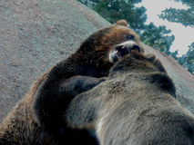 Un contrappeso dell'orso grigio Immagini Stock