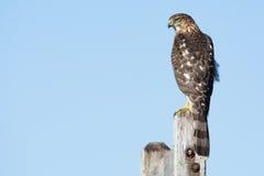 Un cooperii del Accipiter del halcón del ` s del tonelero se encaramó en los posts en el noreste, los E.E.U.U. Foto de archivo