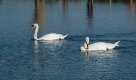 Un cople des cygnes blancs sur un lac Photos libres de droits