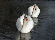 Un cople des cygnes blancs sur un lac Image libre de droits