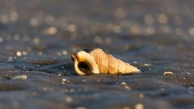 Un coquillage sur la plage de Nudgee dans l'Australie Image libre de droits
