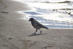 Un corax común del Corvus del cuervo fotos de archivo libres de regalías