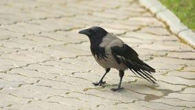 Un corbeau juge sa nourriture professionnelle Portrait d'une corneille, d'un corbeau ou d'un freux noir Corneille noire de jungle image libre de droits