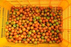 Un corf giallo del raccolto dei pomodori Immagine Stock
