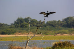 Un cormorán que se sienta en el árbol con las alas abiertas Imagenes de archivo