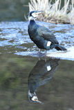 Un cormoran. images stock