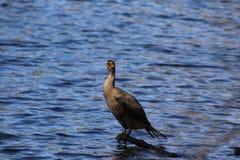 Un cormoran noir ?t? perch? sur un rondin photographie stock libre de droits