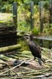 Un cormoran sur un bâton photo libre de droits