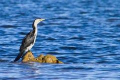 Un cormorano che si siede sulle rocce Fotografia Stock Libera da Diritti