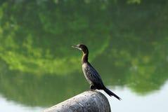 Un cormorano di Neotropic che prende resto con un vantaggio fotografia stock