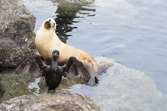 Un cormorano estende le sue ali davanti ad un leone marino nel californ Fotografia Stock