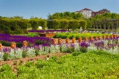 Un corridoio dei fiori della salvia porpora e del lanata dello stachys soleggiati Fotografia Stock