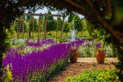 Un corridoio di salvia porpora fiorisce soleggiato Fotografia Stock