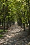 Un corridoio lungo degli alberi verdi della molla Fotografia Stock Libera da Diritti