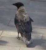 Un corvo Fotografia Stock