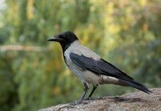 Un corvo Immagini Stock Libere da Diritti