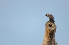 Un corvo appollaiato sull'albero Fotografie Stock