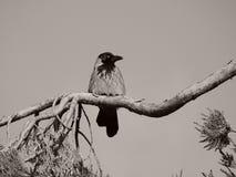 Un corvo che guarda con l'angolo dell'occhio fotografie stock libere da diritti