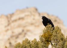 Un corvo che si siede sopra un albero del ginepro chiama ad un amico vicino con le scogliere del deserto del sud-ovest dell'Utah  immagini stock