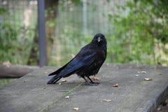 Un corvo curioso originale posa il primo piano Immagine Stock
