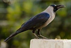 Un corvo di casa comune fotografia stock