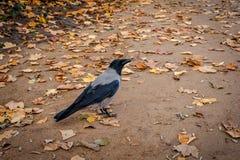 Un corvo grigio che cammina in un vicolo del parco fotografia stock libera da diritti