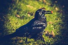 Un corvo ha trovato un biscotto speciale Fotografia Stock Libera da Diritti