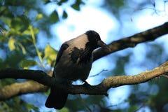 Un corvo incappucciato. Fotografia Stock