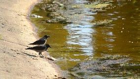 Un corvo mangia il pesce morto e l'altro beve l'acqua stock footage
