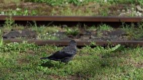 Un corvo nero salta e funziona lungo le vecchie rotaie del metallo di estate nel slo-Mo stock footage