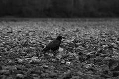 Un corvo scuro Fotografia Stock