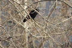 Un corvo si siede su un ramo di albero Fotografie Stock Libere da Diritti