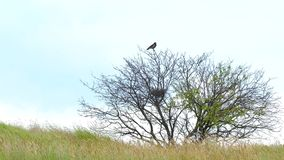 Un corvo solo si siede in un albero