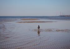 Un corvo sta camminando nell'acqua immagine stock libera da diritti